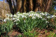 Snowdrops Galanthus nivalis Stock Photography