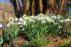 Snowdrops Galanthus nivalis Royalty Free Stock Photography