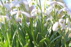 Snowdrops Galanthus nivalis Royalty Free Stock Image