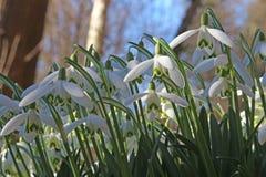 Snowdrops Galanthus nivalis Stock Photo