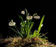 Snowdrops (galanthus nivalis) Royalty Free Stock Photos