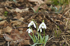 Snowdrops (Galanthus nivalis) in a floodplain forest. Snowdrops (Galanthus nivalis) in a forest Royalty Free Stock Photography