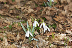 The Snowdrops Galanthus nivalis in a floodplain forest Stock Images