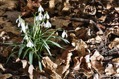 The Snowdrops Galanthus nivalis in a floodplain forest Royalty Free Stock Photography