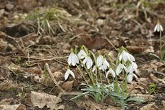 The Snowdrops Galanthus nivalis in a floodplain forest Stock Photography