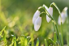 Snowdrops (Galanthus nivalis) Flowers in spring season. Beautiful natural blurred background with sun rays. Stock Images