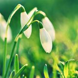 Snowdrops (Galanthus nivalis) Flowers in spring season. Beautiful natural blurred background with sun rays. Stock Photos