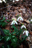 Snowdrops Galanthus nivalis. Fresh snowdrops in deep forest shadow lit by sun beam Stock Image