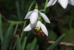 Snowdrops Galanthus nivalis. Fresh snowdrops in deep forest shadow lit by sun beam and bee collecting honey Royalty Free Stock Image