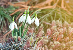 Snowdrops (Galanthus nivalis) Stock Photography
