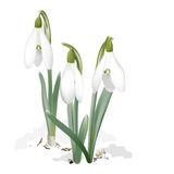 Snowdrops - Galanthus nivalis. Royalty Free Stock Photo