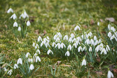 Snowdrops (Galanthus nivalis). Inthe spring meadow Royalty Free Stock Photo