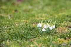 Snowdrops (Galanthus nivalis). Inthe spring meadow Stock Photos