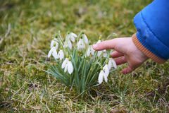 Snowdrops (Galanthus nivalis). Inthe spring meadow Royalty Free Stock Photos