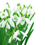 Snowdrops (Galanthus Nivalis) On White Background Royalty Free Stock Photo