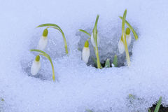 Galanthus nivalis Stock Images