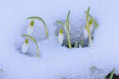 Galanthus nivalis Stock Images