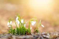 Snowdrops. Galanthus nivalis in warm sunset light Royalty Free Stock Photography