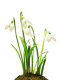 Snowdrops (Galanthus nivalis) on white background Royalty Free Stock Image