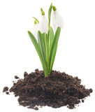 Snowdrops (Galanthus nivalis) on white background Royalty Free Stock Images