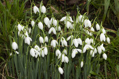 Snowdrops, Galanthus. White UK Snowdrops, Galanthus, green stalks white flowers, drops of water after recent rain Royalty Free Stock Images