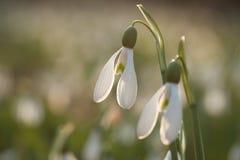 Snowdrops Galanthusare blossoming в backlight Стоковые Изображения