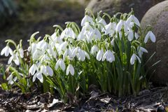 Snowdrops in the garden at spring. Snowdrops Galanthus nivalis is the first flower in the end of winter and the beginning of spring stock image