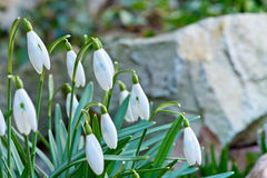 Snowdrops in the garden in the springtime Stock Photography