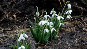 Snowdrops the first spring flowers blossomed in early March. Snowdrops gently sways flower heads from the wind. Snowdrops the first spring flowers blossomed in stock video