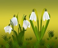 Snowdrops and grass in the background. crocuses. white snowdrops.  Royalty Free Stock Photo