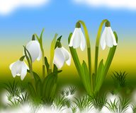 Snowdrops and grass in the background. crocuses. white snowdrops.  Stock Photography