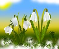 Snowdrops and grass in the background. crocuses. white snowdrops.  Stock Photo