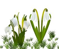 Snowdrops and grass in the background. crocuses. white snowdrops.  Royalty Free Stock Photography