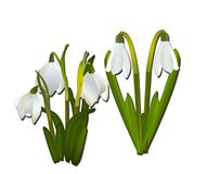 Snowdrops and grass in the background. crocuses. white snowdrops.  Royalty Free Stock Image