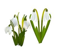 Snowdrops and grass in the background. crocuses. white snowdrops.  Stock Image