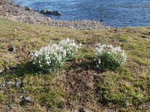 Snowdrops on grassy riverbank Royalty Free Stock Image