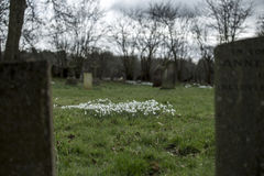 Snowdrops in a graveyard Stock Photos