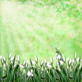 Snowdrops on green abstract background Royalty Free Stock Photography