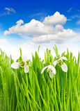 Snowdrops in green grass with water drops Stock Photography