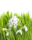 Snowdrops in green grass with wet drops Royalty Free Stock Photo