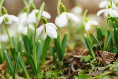 Snowdrops greeting card Stock Image