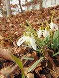 Snowdrops on the ground. In february royalty free stock photography