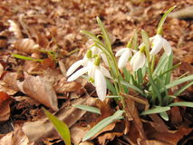 Snowdrops on the ground. In february Royalty Free Stock Photo