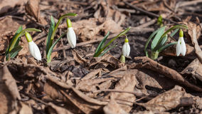 Snowdrops growing through dried leaves Royalty Free Stock Photography