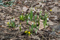 Snowdrops growing and flowering at the flowerbed at The Botanic Garden of Moscow State University on spring day Stock Photos