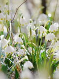 Snowdrops growing out snow Stock Photography