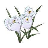snowdrops Handabgehobener betrag der Blume Auch im corel abgehobenen Betrag Lizenzfreies Stockbild