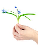 Snowdrops in hands Royalty Free Stock Image