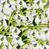 Snowdrops hermosos Fotos de archivo libres de regalías