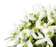 Snowdrops hermosos aislados en un fondo blanco Imagen de archivo libre de regalías